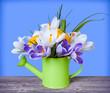 Spring crocuses flowers in green watering can