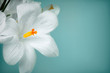 White crocus flowers on vintage colored background