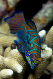 Mandarin fish on hard coral background in Philippines