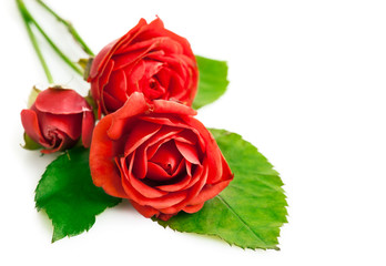red roses with green leaves isolated on white background