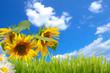 sonnenblumen,himmel und wiese