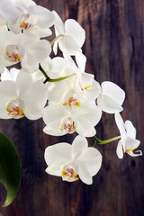 Flowering branch of white orchids.