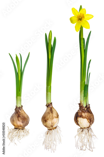 Different growth stages of a narcissus