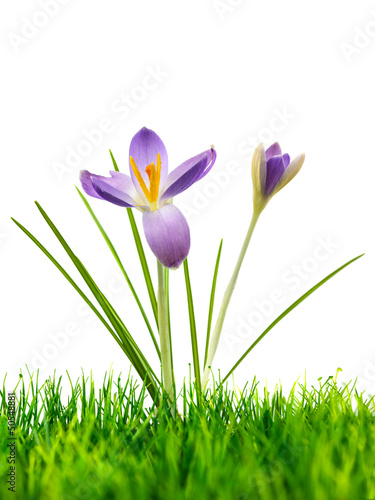 Purple crocus on fresh green grass isolated on white