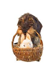 Dackel trägt Osterkorb mit Stoffhasen