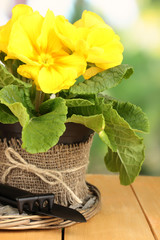 Beautiful yellow primula in flowerpot on wooden table close up