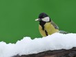 Great tit in the snow.