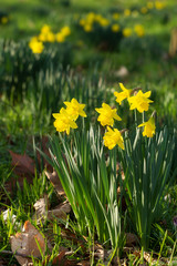 Field of blooming daffodils