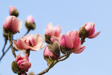 Blossoming pink magnolia against blue sky