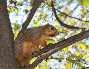 American Squirrel standing on The Tree Branch