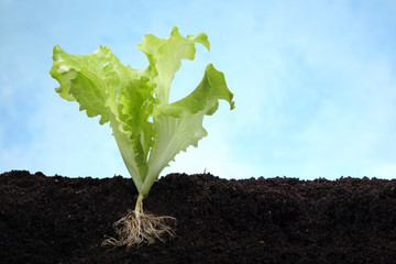lettuce image with root in soil - lateral view