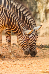 Two lovely Zebra eating in Thailand zoo