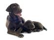puppy and adult labrador retriever