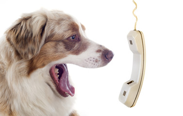 australian shepherd and phone