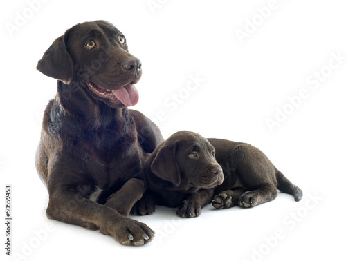 puppy and adult labrador retriever