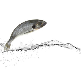 Sea bass fish jumping from water
