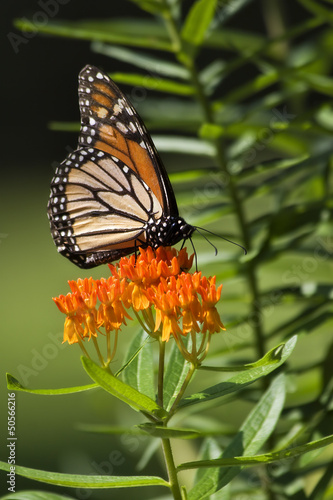 Monarch Butterfly Feeding on Orange Milkweed