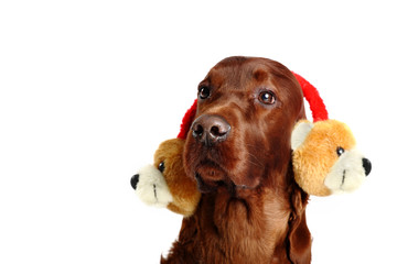 Irish Red Setter dog in the hat