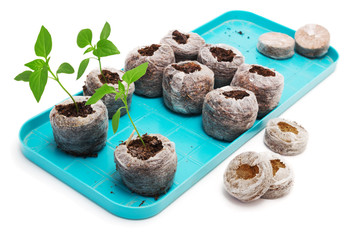 Seedling vegetable plants grown in peat tablet on a pallet