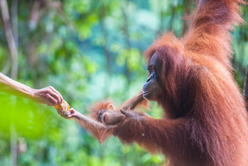 Mother and baby orangutan feeding, Bukit Lawang, Sumatra, Indone
