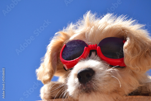 Welpe mit sonnenbrille