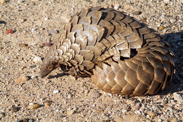 Pangolin manis temminckii in the Kalahari