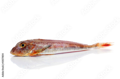 surmullet or striped red mullet