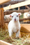 Very young lamb, eating grass and staring at camera