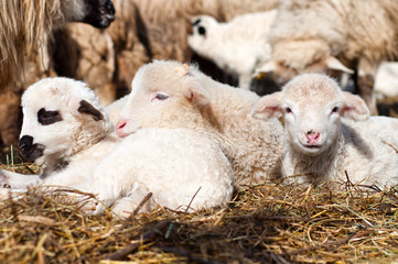 Little young lambs smiling at camera and sleeping