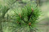 Bright green pine branches with needles