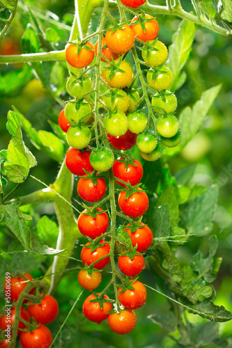 Fresh and organic cherry tomatoes in the garden