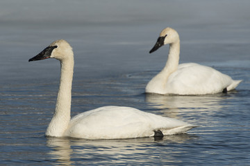 Swimming Swans