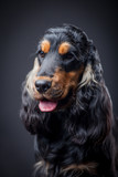 Portrait of a purebred english cocker spaniel in a studio