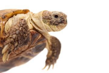 Russian Tortoise or Central Asian tortoise