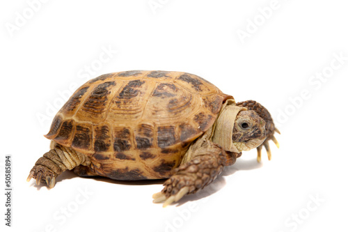 Russian Tortoise or Central Asian tortoise