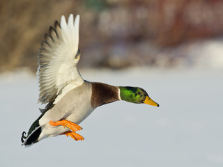 Landing Mallard with a brilliant greenhead
