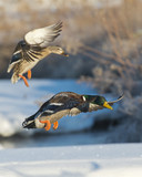 Pair of Mallards coming into land
