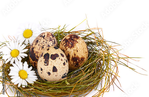 Quail's Eggs and chamomiles in a Nest