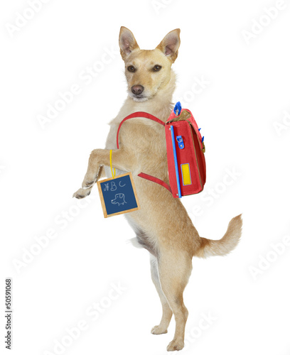 Cute school boy dog wearing a backpack