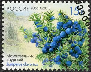 RUSSIA - 2013: shows Daurian juniper (Juniperus davurica), serie