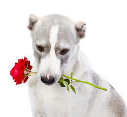 dog holding red rose in its mouth. isolated