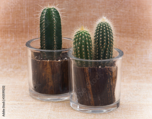 Two cacti in pots