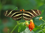 Zebra Longwing  Butterfly on Lantana Flower
