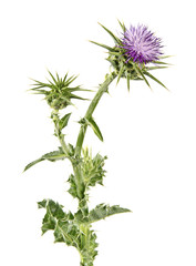 Flowering Spear Thistle (Cirsium vulgare)