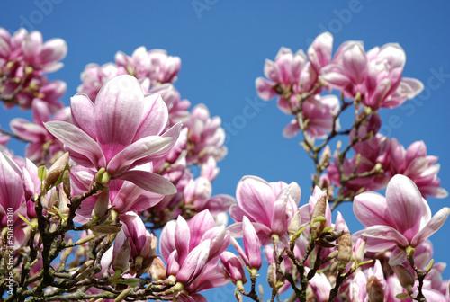 szczegoly-magnolia