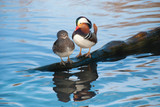 mandarin duck couple standing side by side.
