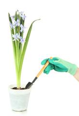Beautiful hyacinth in flowerpot and gardener's hand (conceptual