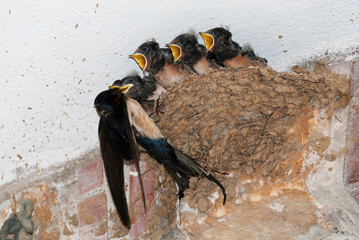 Barn swallow feeding chicks in nest