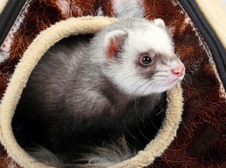 ferret in the house