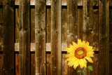 Sunflower with fence on the background